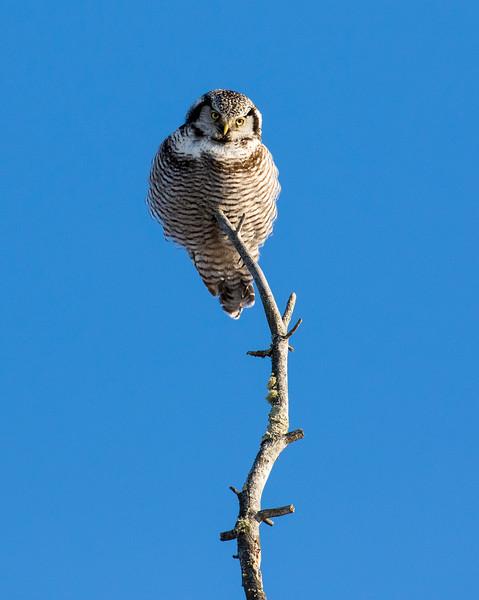 Northern Hawk Owl 7 (1-2017)