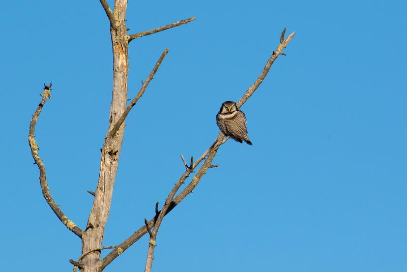 Northern Hawk Owl 9 (1-2017)