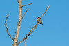 Northern Hawk Owl 9 (1-2017)