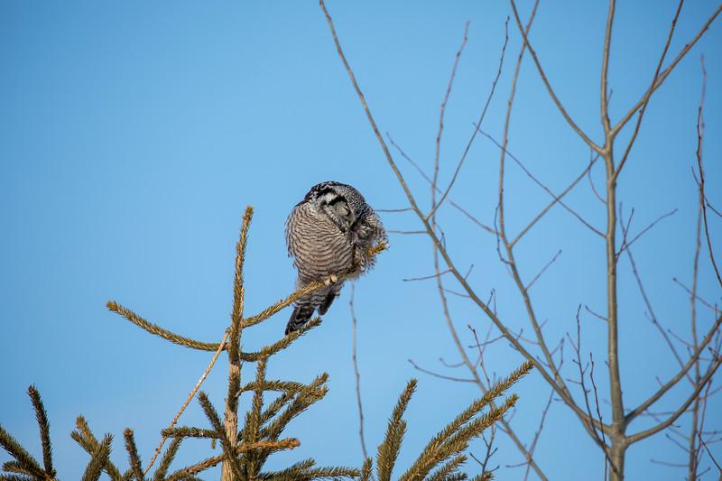 Northern Hawk Owl 6 (1-2018)