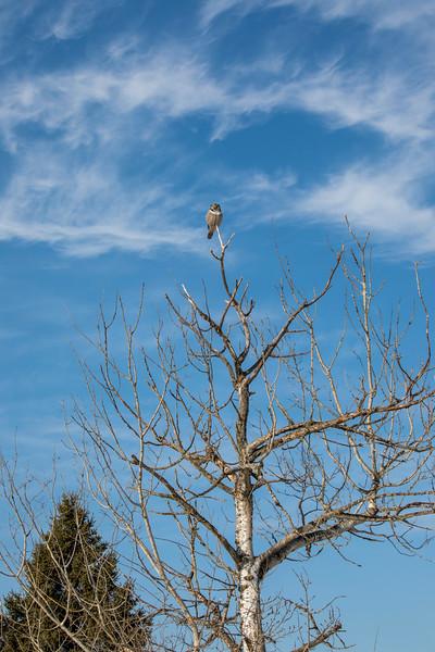 Northern Hawk Owl 3 (1-2018)