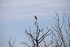 Northern Hawk Owl 1 (1-2018)