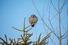 Northern Hawk Owl 7 (1-2018)