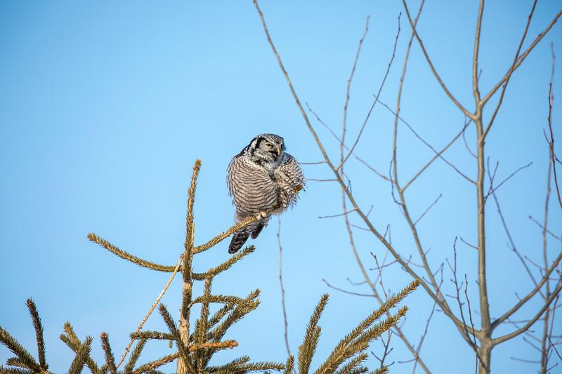 Northern Hawk Owl 2 (1-2018)