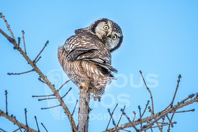 Owl-Northern Hawk Owls