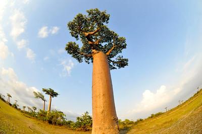Baobab alley (Morondava)