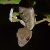 Uroplatus Ebenaui (Leaf Tailed Gecko)