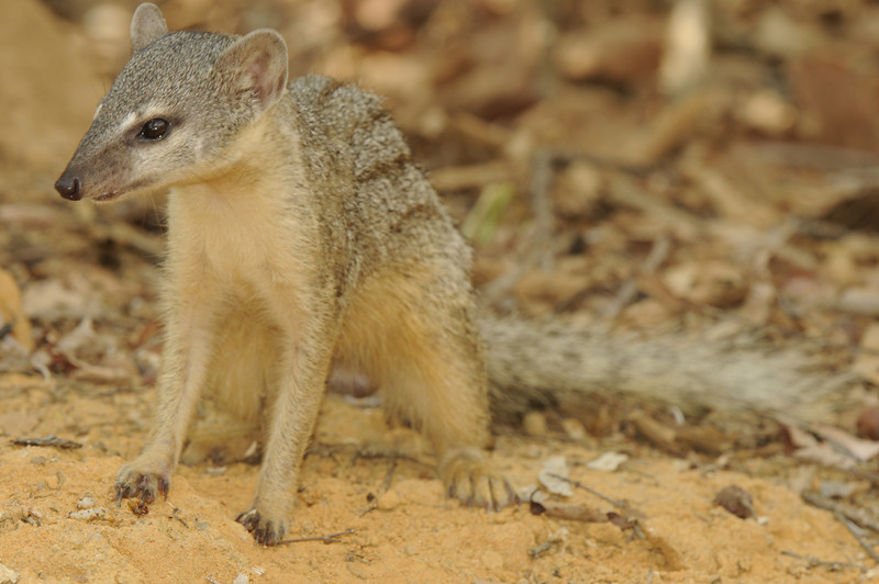 Narrow striped mongoose