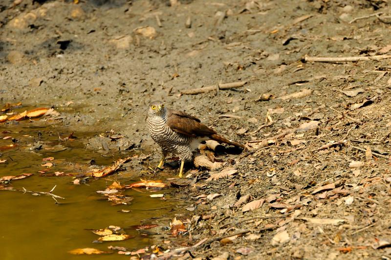 Frances's Sparrowhawk