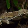 Uroplatus Sikorae (Leaf Tailed Gecko) Mating