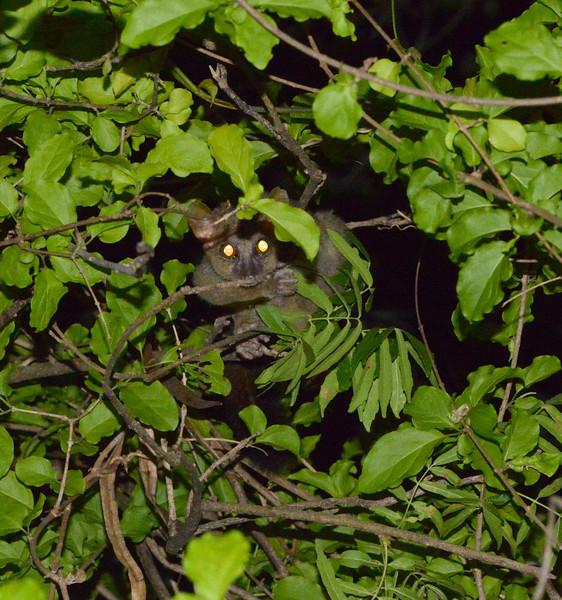 Coquerel's giant mouse lemur