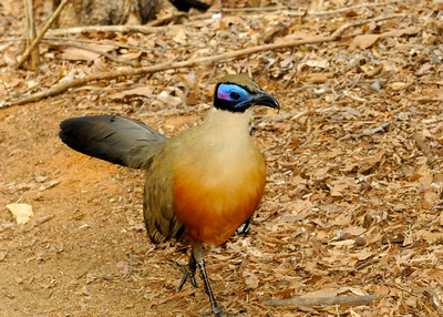 Giant coua