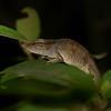 Blue nosed chameleon