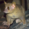 Coquerel's giant mouse lemur