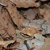 Aglyptodactylus Madagascariensis (Frog)