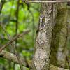 Uroplatus Sikorae (Leaf Tailed Gecko)