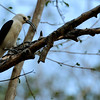 Sickle billed vanga
