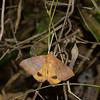 Achaea euryplaga (Moth)