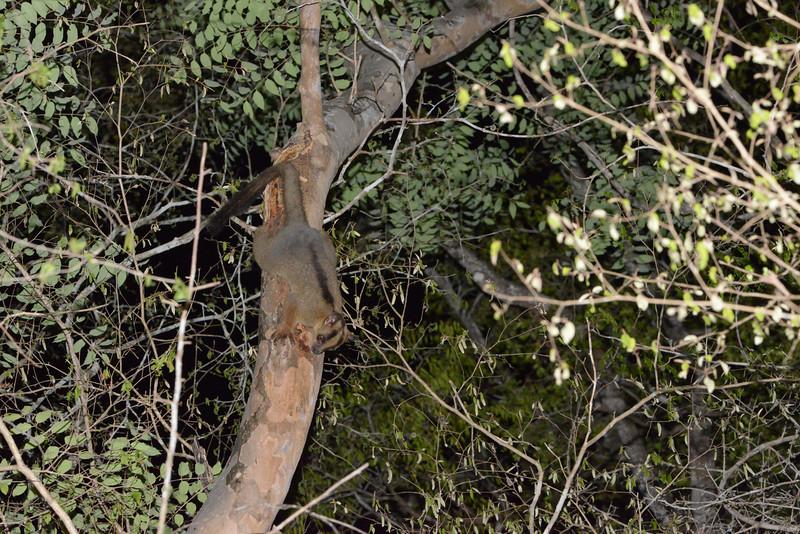 Pale fork-marked lemur