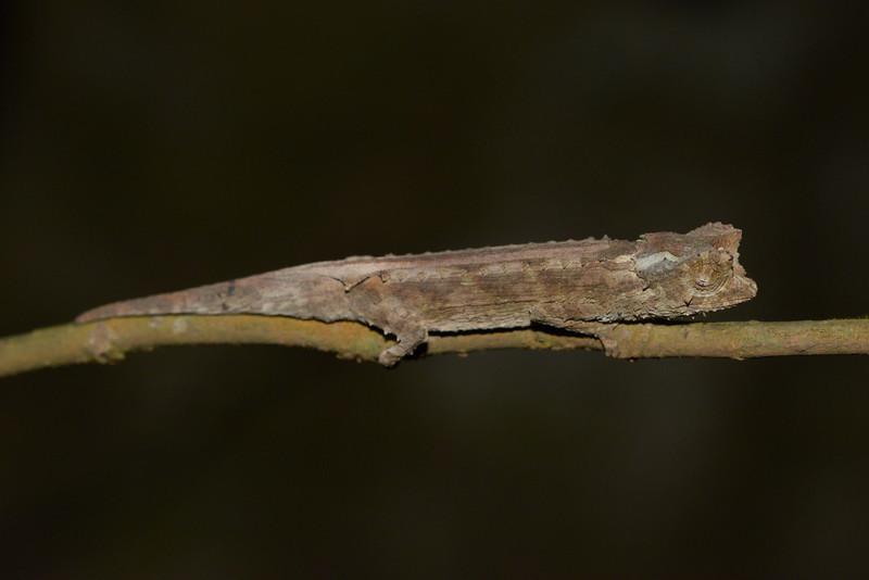 Brookesia Antakarana (Chameleon)