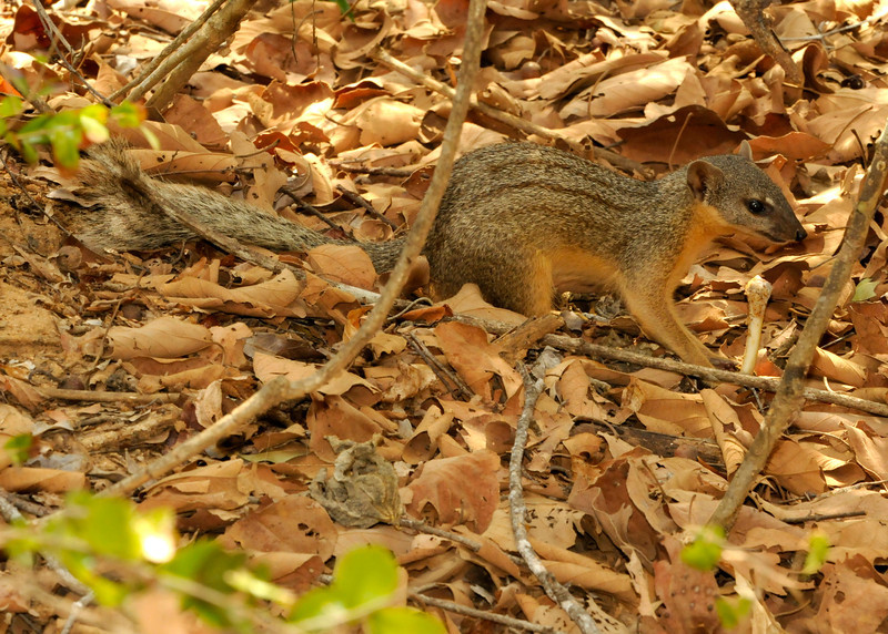 Narrow striped mongoose