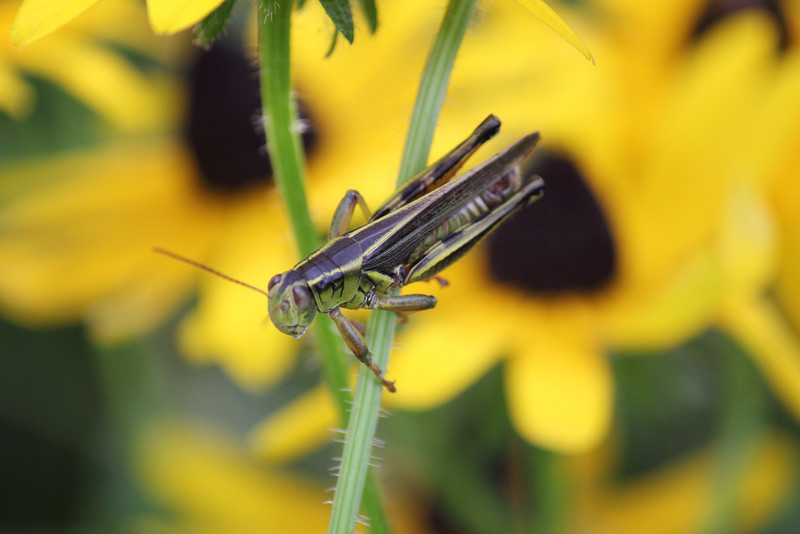 Grasshopper and Sunflower