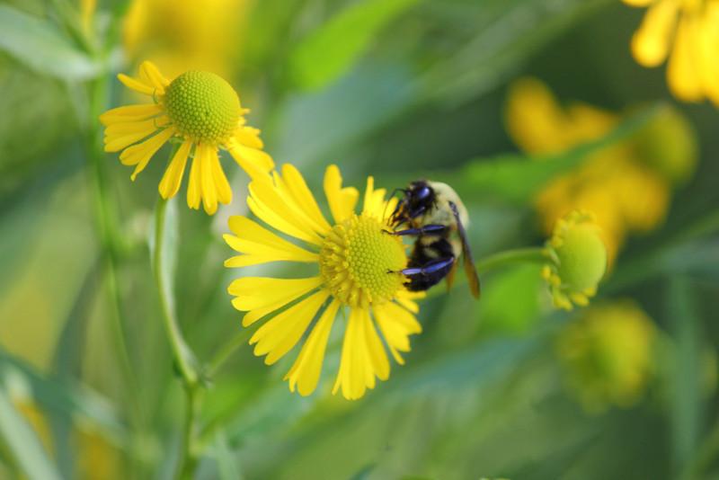 Bee and Autumn Sneezeweed