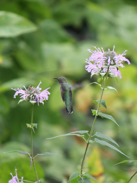 Hummingbird and Bergamot