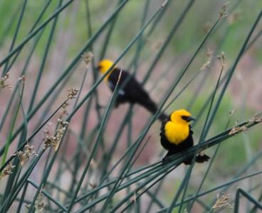 yellow_headed_blackbird2