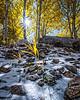 Backlit Aspens, Lamoille Canyon NV