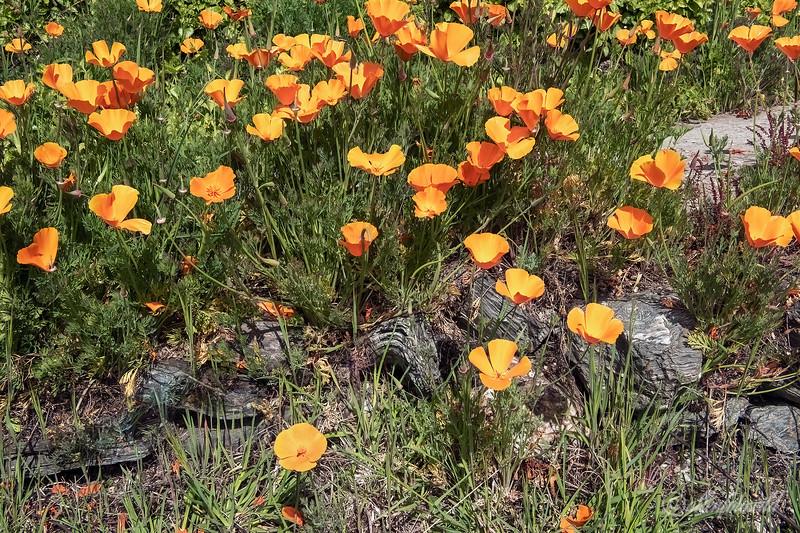 California poppies (Eschscholtzia californica), Terra Luna Lodge, Puerto Guadal, Patagonia sm