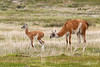 Mother guanaco (Lama guanicoe) with young calf (chulengo) in the grass, Chacabuco Valley, Patagonia