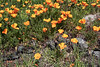 California poppies (Eschscholtzia californica), Terra Luna Lodge, Puerto Guadal, Patagonia sm