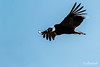 Adult Andean condor soaring on an updraft, Rio Nireguao, Patagonia
