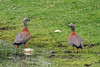 Pair of Ashy-headed geese on the shore, Lago Negro, Patagonia, Chile