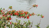 Chilean fire bush flowers with raindrops, Carretera Austral, Rio Baker, Patagonia