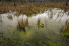 Pond with weeds, reeds and reflections with burned out tree trunks, X-109, Tortel, Patagonia