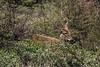 Female huemul (Hippocamelus bisculcus) in the deep bush, N  of Mirador Cerro Castillo, Carretera Austral, Patagonia