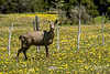 Female huemul (Hippocamelus bisculcus) in a field of dandelions by a barbed wire fence, El Progreso, Carretera Austral, Patagonia