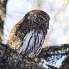 07 Northern Pygmy-owl
