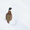 Ring-necked Pheasant (Phasianus colchicus)