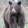 Black Bear (Ursus americana)