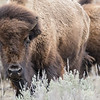 Bison (Bison bison)