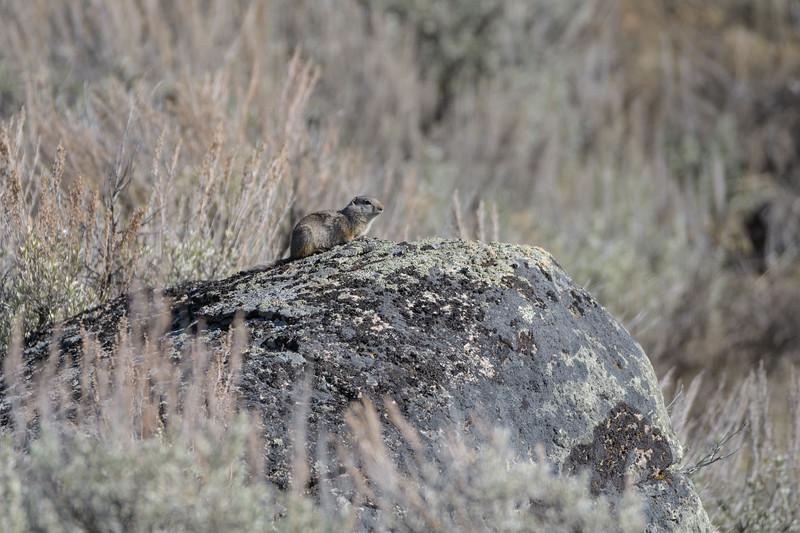Unita Ground Squirrel (Spermophilus armatus)