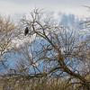 Harris's Hawk (Parabuteo unicinctus)