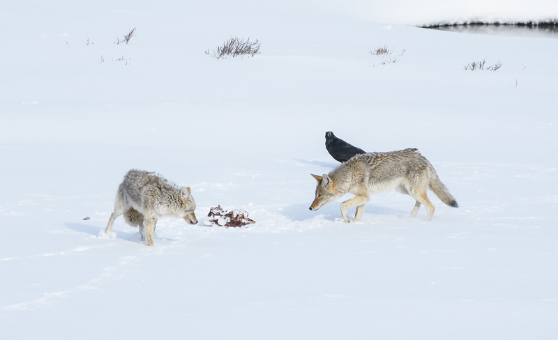 Coyotes