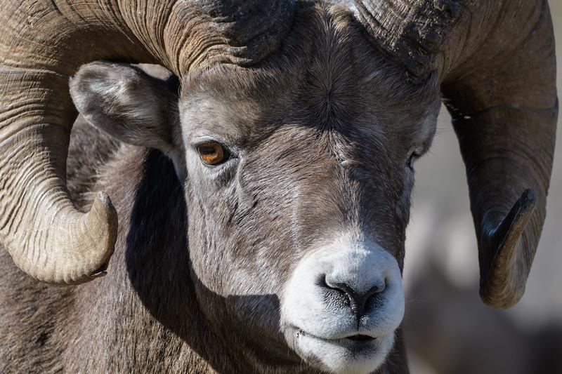 Bighorn Sheep (Ovis canadensis)