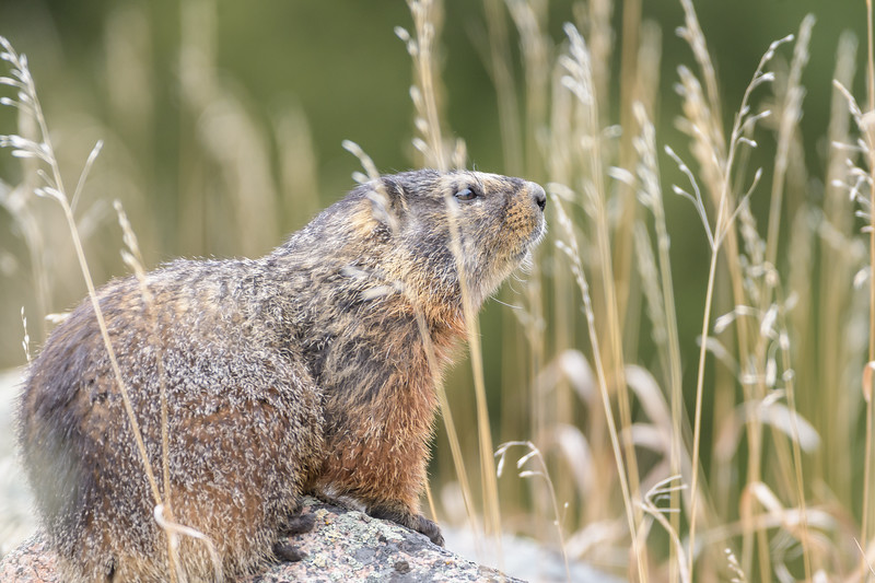 Yellow-bellied Marmot (Marmota flaviventris)