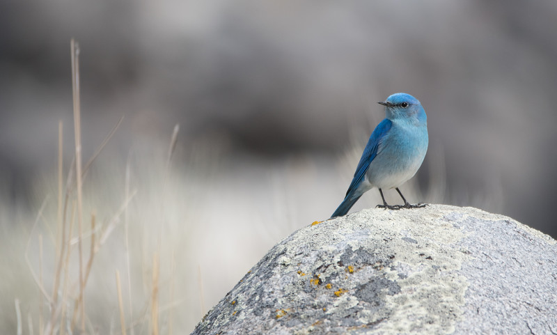 Mountain Bluebird