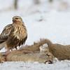 Rough-legged Hawk (Buteo lagopus)